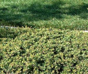 Emerald Carpet Manzanita