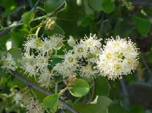Holly Leaf Cherry