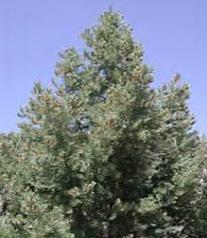 Single leaf Pinon Pine