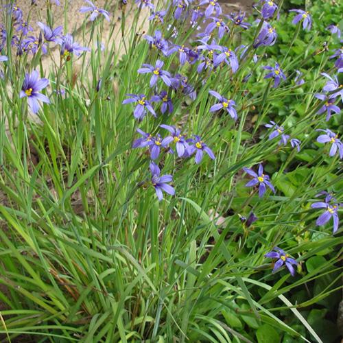 Perennial Sisyrinchium Bellum Blue Eyed Grass 1 Gallon