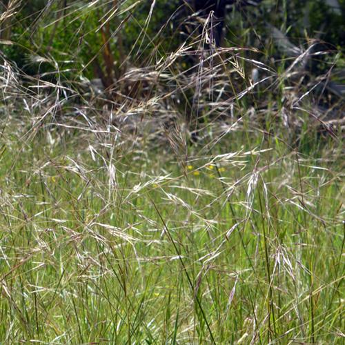 Ornamental Grasses Nassella Pulchra Purple Needlegrass 4