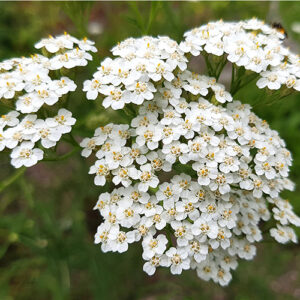 Achillea-millefolium-californica-Common-Western-Yarrow