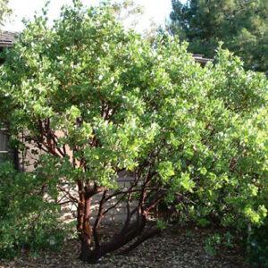 Arctostaphylos-manzanita-Dr-Hurd