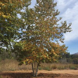 Platanus-racemosa-California-Sycamore