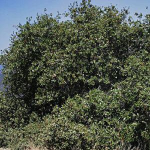 Quercus-wislizeni-Interior-Live-Oak