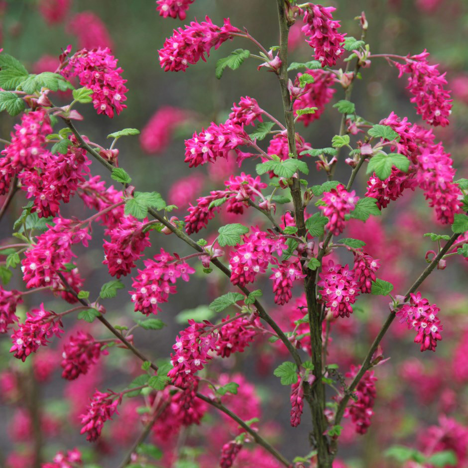 Ribes sanguineum (Red Flowering Currant) - 1 Gallon